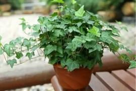 新房除甲醛的植物有哪些,哪种效果最好?