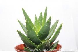 室内除甲醛的植物有哪些,吊兰绿萝比不过它